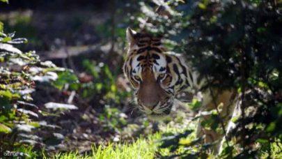 """نمر """"سيبيري"""" يخرج من الغابة يطلب """"نجدة بشرية"""""""