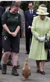 """""""بطة"""" تكسر القواعد الملكية وتسير أمام اليزابيث"""