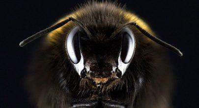 العثور نحلة عمرها 99 مليون عام