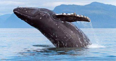 حوت أحدب تائه بشواطئ مونتريال على بعد 400 كيومتر من مطنه