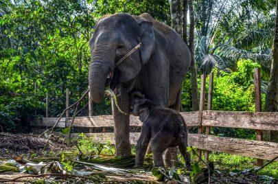الفيل دامار مع أمه نجاتيني بمنتزه بولوهتشينا في كامبار بإندونيسيا