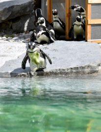 طيور البطريق في حديقة الحيوانات بالنمسا