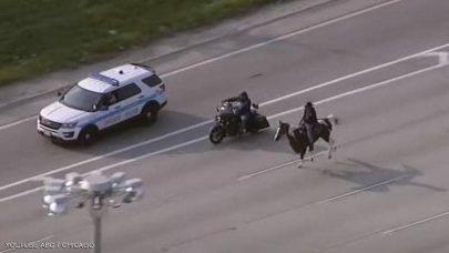 ظهور مفاجئ لراعي بقر على طريق سريعة في شيكاغو