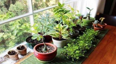 نبات البلانتين يساعد في علاج مشاكل التنفس