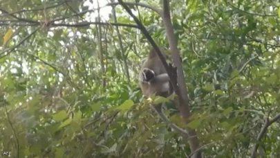 قرد يختطف جروا صغيراً في ماليزيا