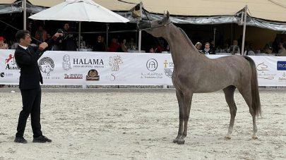 مربط دبي للخيول يكتسح بطولة الشارقة للسلالة المصرية